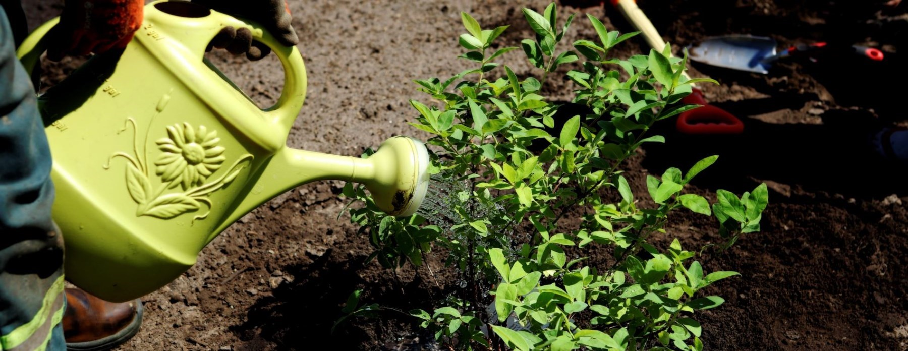 watering can and plant in the dirt